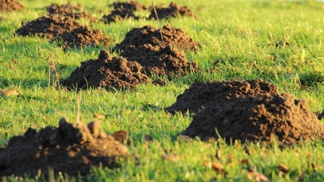 Ratte Im Garten Vertreiben : Im Garten Maulwurf vertreiben & bekämpfen
